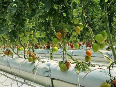 גידול עגבניות במצע פרלייט הידרופוני
